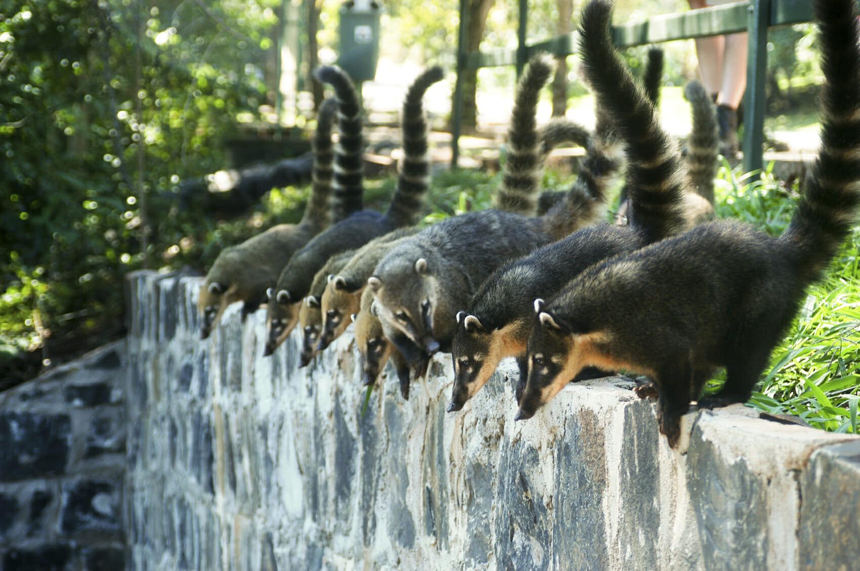 12 coisas que você deve saber antes de visitar as Cataratas do Iguaçu quatis
