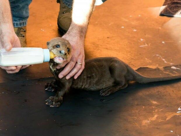 , Refúgio Biológico de Itaipu, em Foz do Iguaçu, recebe filhote de ariranha, Passeios em Foz do Iguaçu | Combos em Foz com desconto