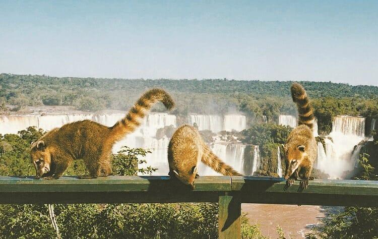 Quatis nas Cataratas do Iguaçu