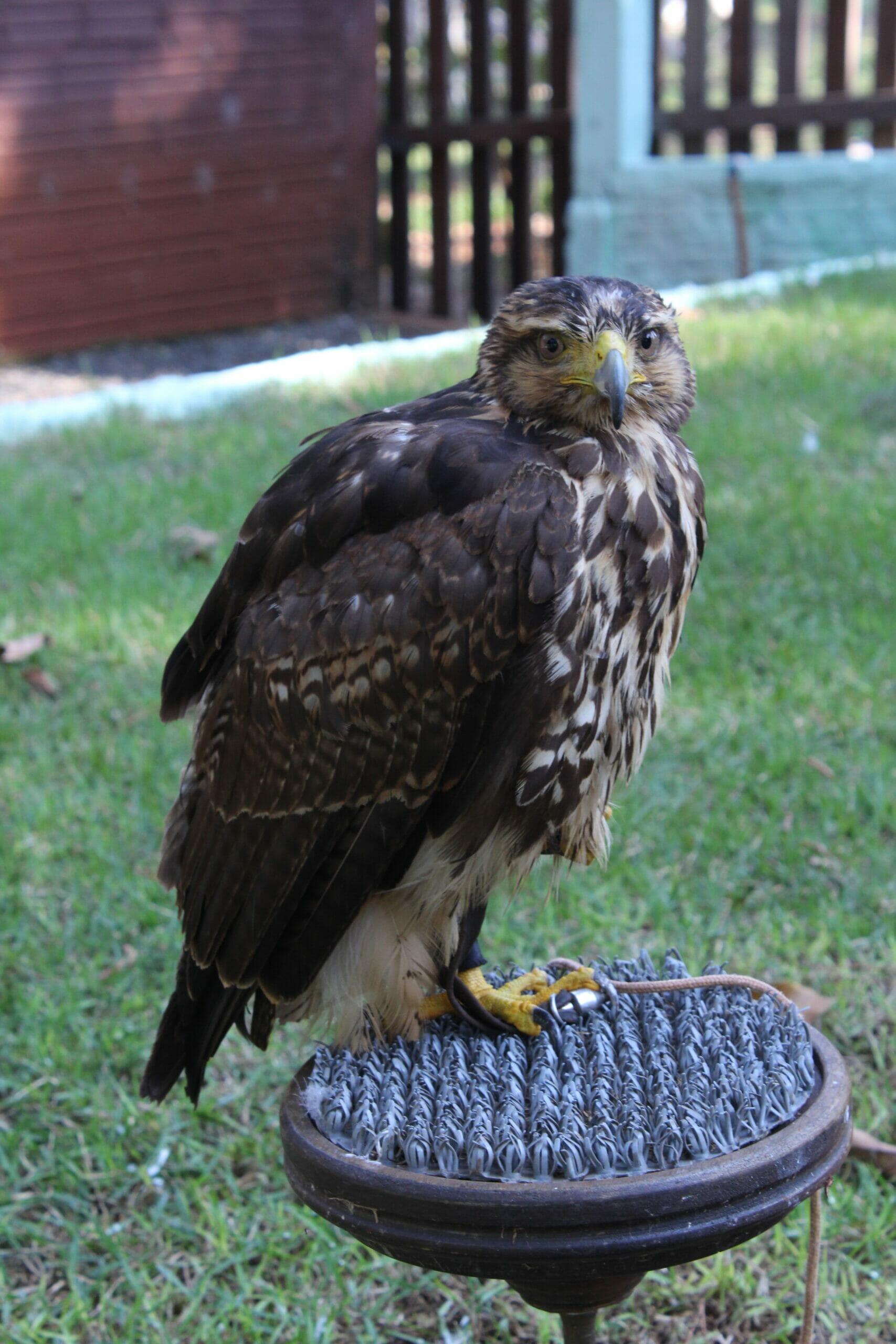 Falcoaria Mautone